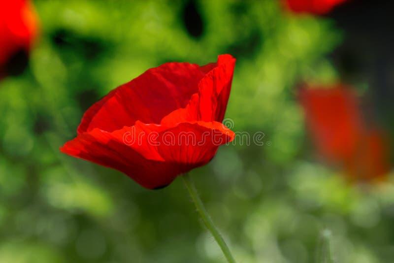 Κόκκινη παπαρούνα στον πράσινο τομέα ζιζανίων Λουλούδια παπαρουνών Κλείστε επάνω το hea παπαρουνών στοκ φωτογραφία με δικαίωμα ελεύθερης χρήσης