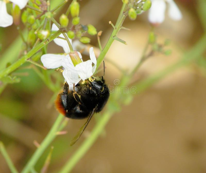 Κόκκινη παρακολουθημένη μέλισσα Bumble στοκ φωτογραφία με δικαίωμα ελεύθερης χρήσης