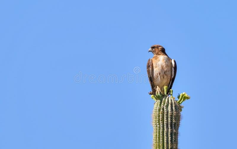 Κόκκινη παρακολουθημένη συνεδρίαση γερακιών σε έναν κάκτο Saguaro στοκ εικόνα με δικαίωμα ελεύθερης χρήσης