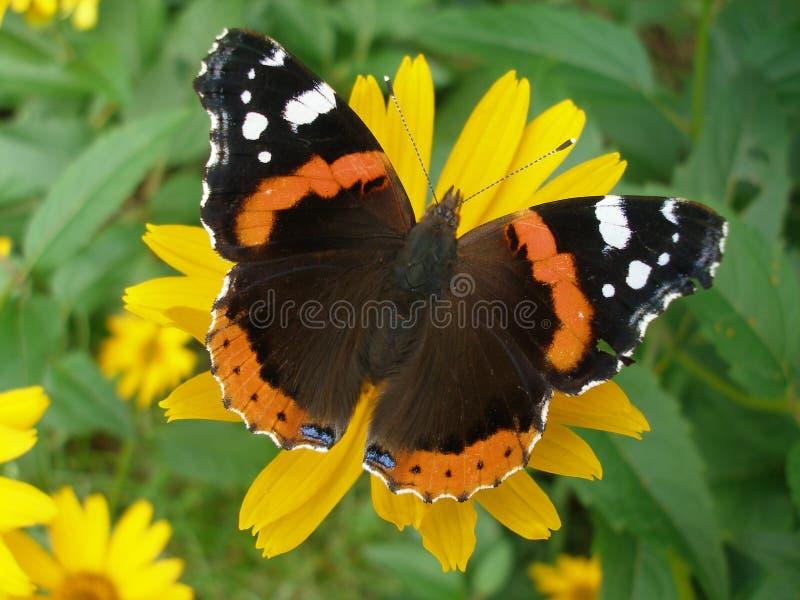 Κόκκινη πεταλούδα ναυάρχων στοκ φωτογραφία με δικαίωμα ελεύθερης χρήσης