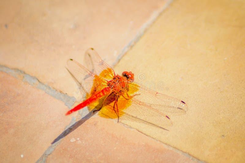 Κόκκινη πεταλούδα στο έδαφος στοκ φωτογραφίες