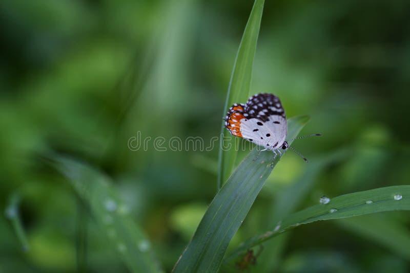 Κόκκινη πεταλούδα pierrot - nyseus Talicada σε μια λεπίδα της χλόης driking πτώσεις δροσιάς στοκ εικόνες