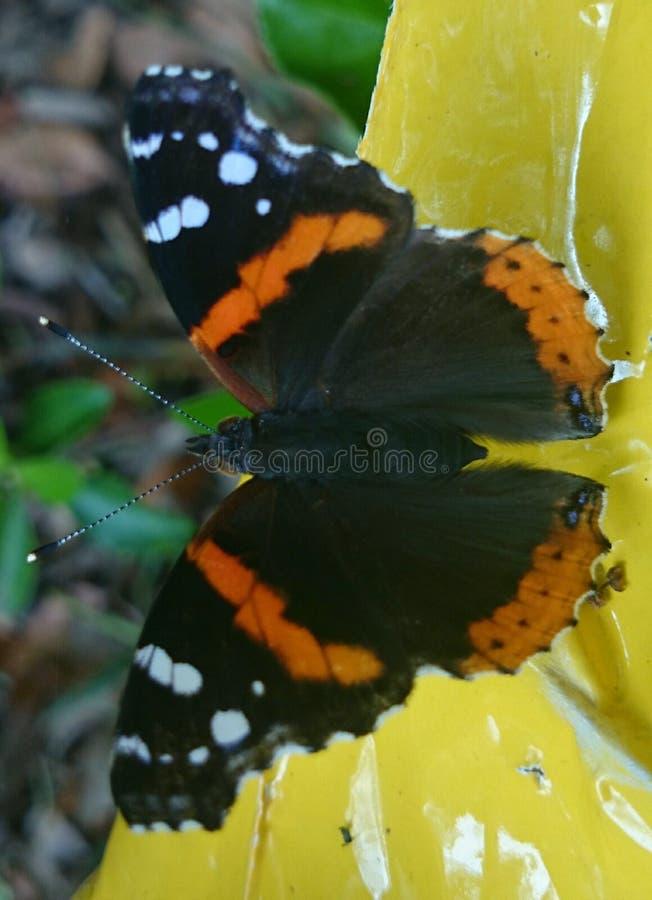 Κόκκινη πεταλούδα ναυάρχων στοκ εικόνα