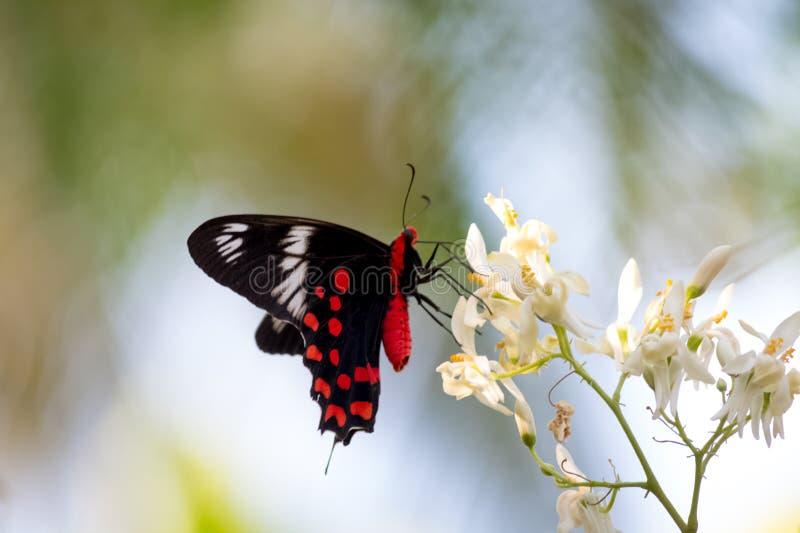κόκκινη πεταλούδα στοκ φωτογραφία με δικαίωμα ελεύθερης χρήσης