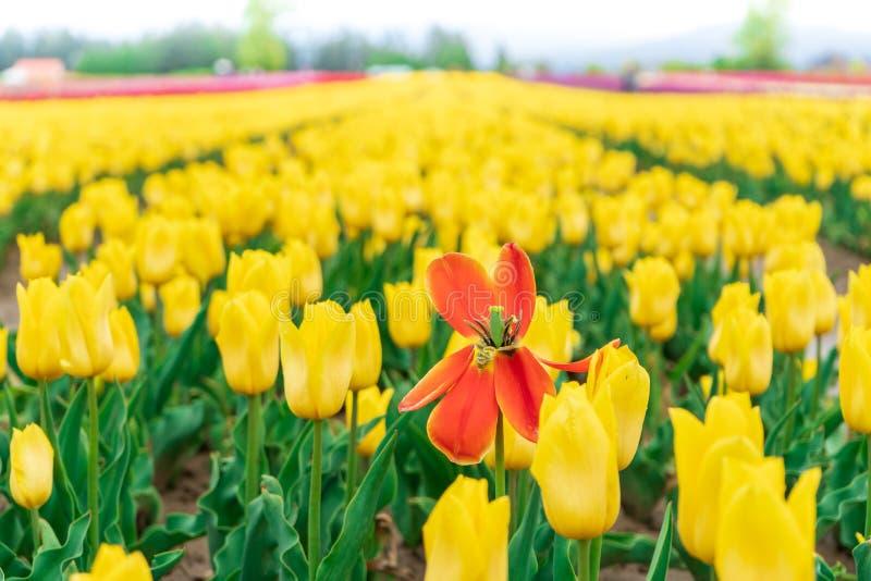 Κόκκινη πορτοκαλιά τουλίπα θανάτου μεταξύ ενός τομέα των κίτρινων ανθίζοντας τουλιπών στην άνοιξη Σε ένα αγροτικό τουριστικό αξιο στοκ φωτογραφία