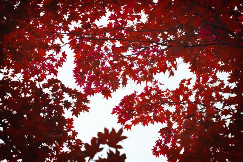 Κόκκινη ραγδαία μεταβολή φύλλων σφενδάμου στο hokkado Ιαπωνία sapporo φθινοπώρου στοκ εικόνα με δικαίωμα ελεύθερης χρήσης