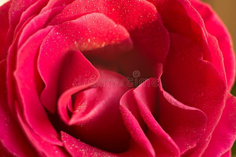 Κόκκινη ρόδινη ροζ μακροεντολή στις πτώσεις της δροσιάς στοκ φωτογραφίες
