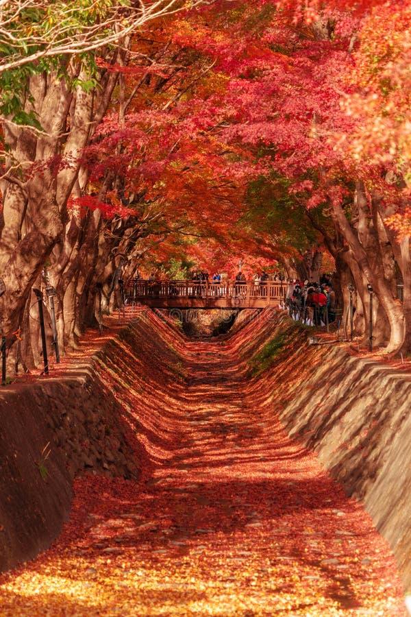Κόκκινη σήραγγα φυλλώματος πτώσης το φθινόπωρο κοντά σε Fujikawaguchiko, Yamanash στοκ εικόνα με δικαίωμα ελεύθερης χρήσης