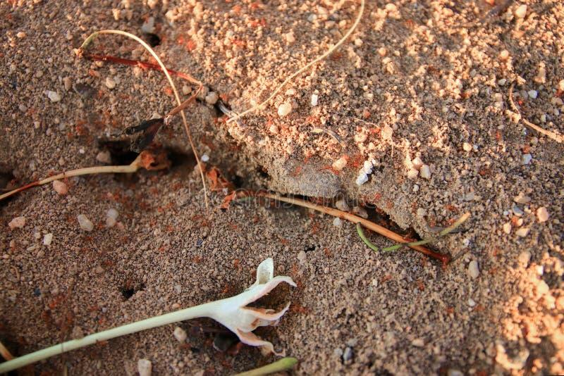 κόκκινη στενή επάνω ομαδική εργασία μυρμηγκιών πυρκαγιάς στη φύση στοκ φωτογραφία