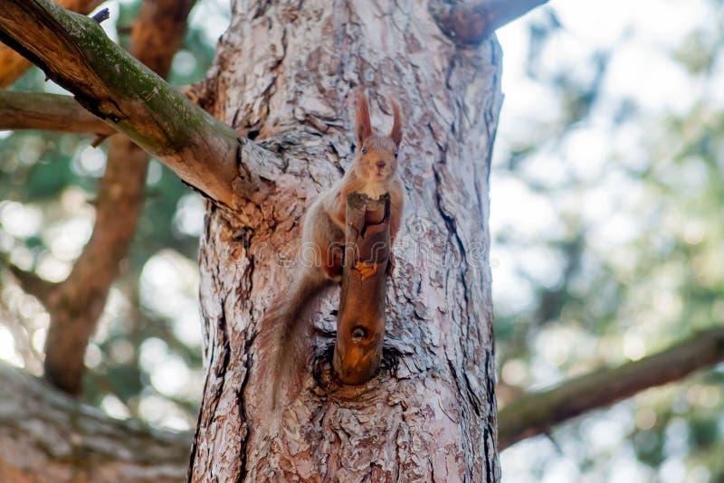 Κόκκινη συνεδρίαση σκιούρων σε ένα καλυμμένο βρύο κολόβωμα δέντρων στοκ εικόνα με δικαίωμα ελεύθερης χρήσης