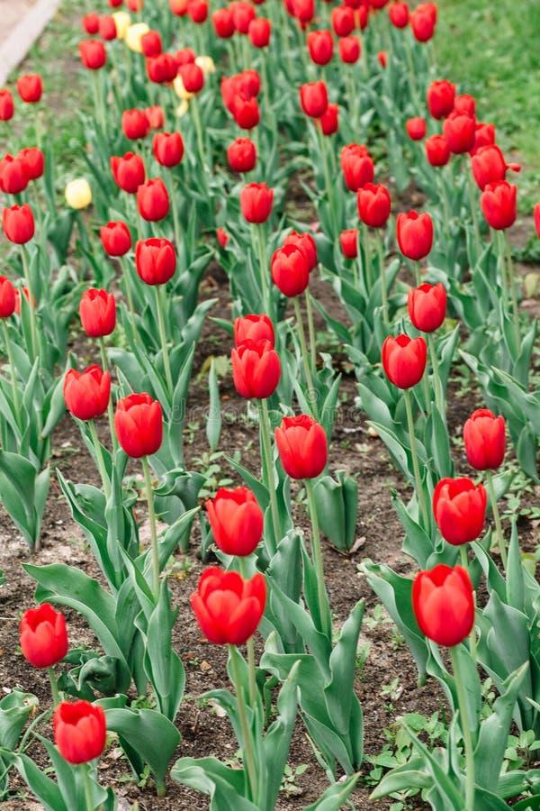 Κόκκινη τοπ άποψη τουλιπών σχετικά με ένα ανθίζοντας κρεβάτι λουλουδιών στοκ φωτογραφία με δικαίωμα ελεύθερης χρήσης