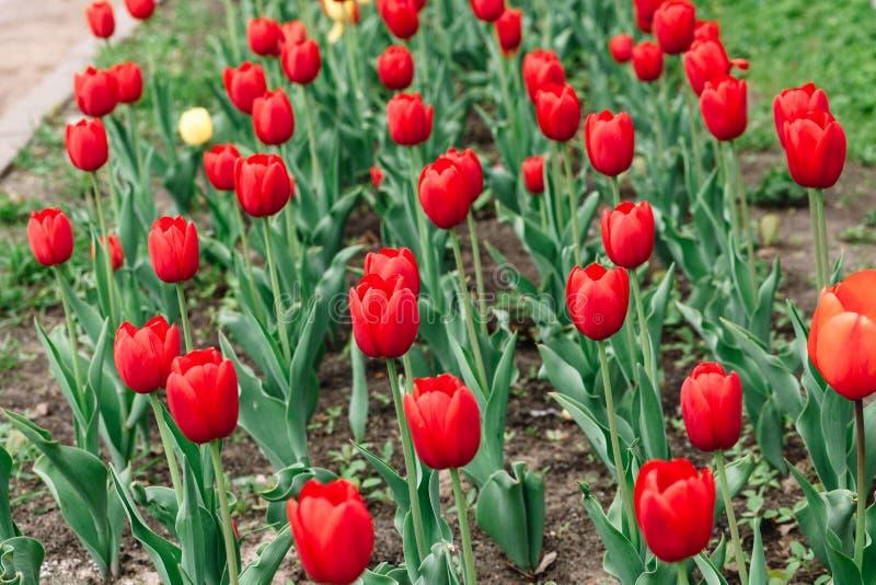 Κόκκινη τοπ άποψη τουλιπών σχετικά με ένα ανθίζοντας κρεβάτι λουλουδιών στοκ φωτογραφίες με δικαίωμα ελεύθερης χρήσης