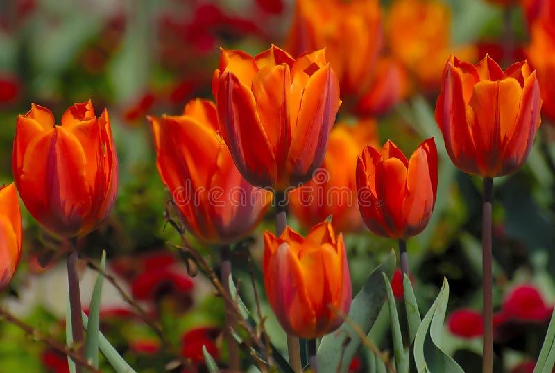 κόκκινη τουλίπα λουλο&upsi στοκ εικόνες