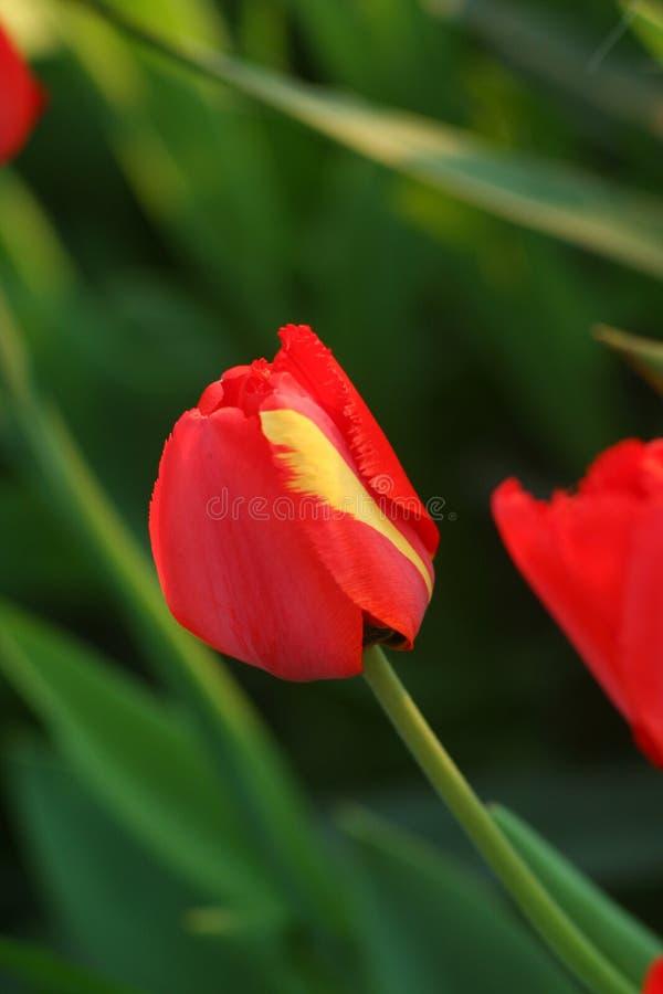 Κόκκινη τουλίπα με το κόκκινο και κίτρινο πέταλο στοκ φωτογραφίες με δικαίωμα ελεύθερης χρήσης