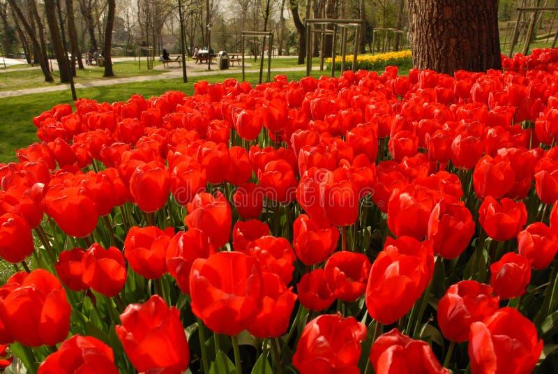 Κόκκινη τουλίπα στοκ φωτογραφίες με δικαίωμα ελεύθερης χρήσης
