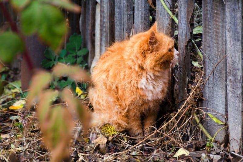Κόκκινη χνουδωτή γάτα που κοιτάζει μέσω της τρύπας στον ξύλινο φράκτη στοκ εικόνα με δικαίωμα ελεύθερης χρήσης