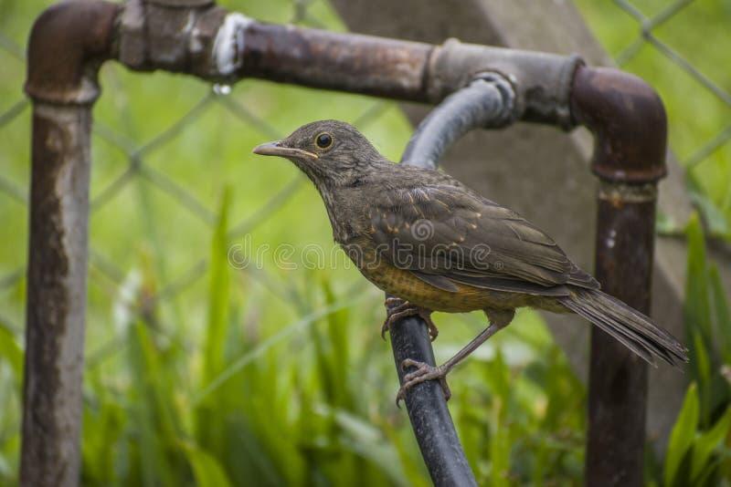 Κόκκινη όμορφη εξέταση επάνω-περίβολου πουλιών Thrusher τη κάμερα στοκ εικόνες