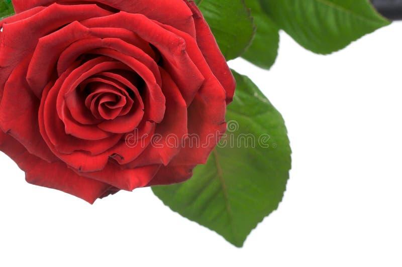 κόκκινη Rosa στοκ εικόνες