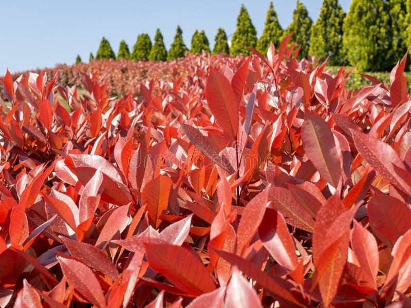 Κόκκινοι δέντρα και μπλε ουρανός φύλλων στοκ φωτογραφίες