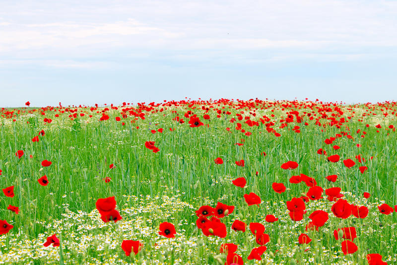 Κόκκινοι λιβάδι και μπλε ουρανός λουλουδιών παπαρουνών στοκ εικόνα με δικαίωμα ελεύθερης χρήσης