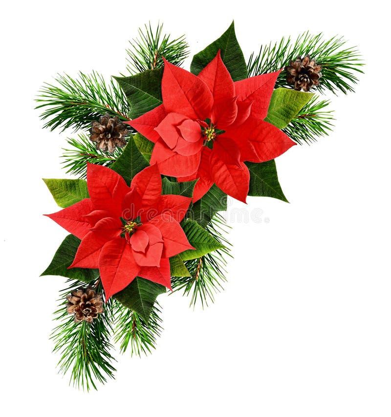 Κόκκινοι λουλούδια poinsettia και fir-tree κλάδοι στοκ εικόνες