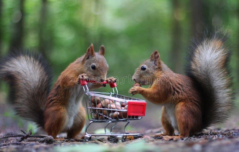Κόκκινοι σκίουροι κοντά στο μικρό κάρρο αγορών με τα καρύδια στοκ εικόνα