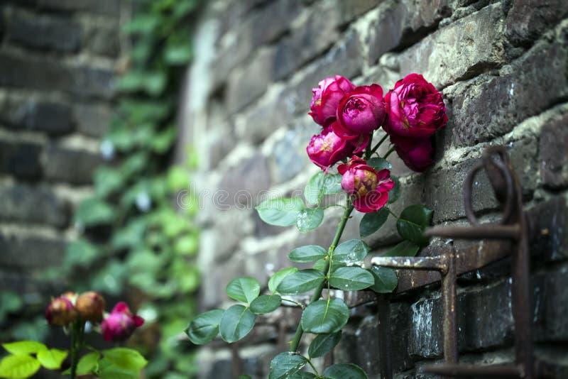 Κόκκινοι τριαντάφυλλα και τουβλότοιχος στοκ φωτογραφία