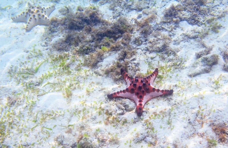 Κόκκινος αστερίας στην ακροθαλασσιά με seagrass Υποβρύχια φωτογραφία των ψαριών αστεριών στην τροπική ακτή Εξωτική παραλία νησιών στοκ εικόνες