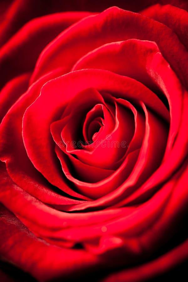 Κόκκινος αυξήθηκε λεπτομερώς στοκ φωτογραφία με δικαίωμα ελεύθερης χρήσης
