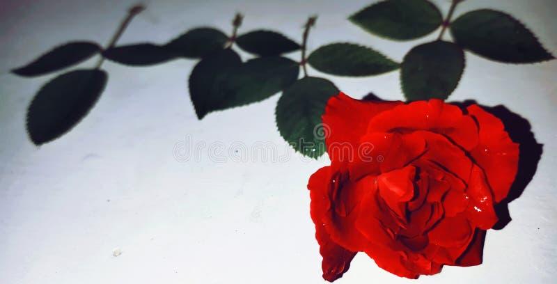 Κόκκινος αυξήθηκε στοκ φωτογραφία