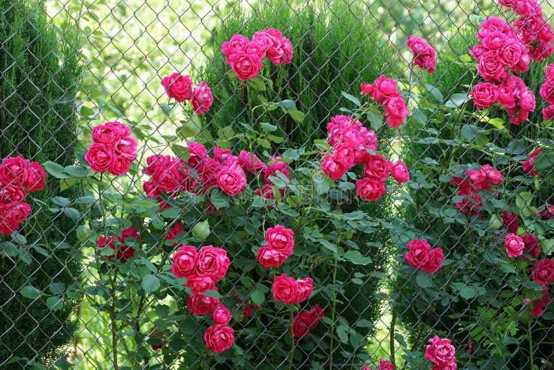 Κόκκινος αυξήθηκε λουλούδια με έναν πράσινο θάμνο σε ένα πλέγμα μετάλλων στοκ εικόνες
