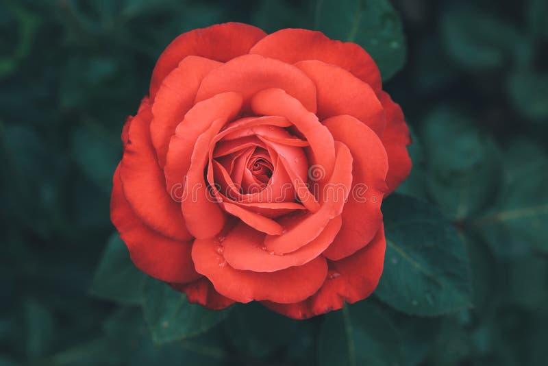 Κόκκινος αυξήθηκε λουλούδι, ερυθρό μπουμπούκι τριαντάφυλλου στο σκοτεινό υπόβαθρο στοκ εικόνες
