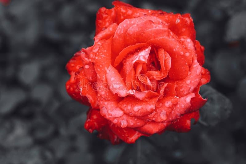 Κόκκινος αυξήθηκε λουλούδι, ερυθρό μπουμπούκι τριαντάφυλλου στο σκοτεινό υπόβαθρο στοκ φωτογραφία με δικαίωμα ελεύθερης χρήσης