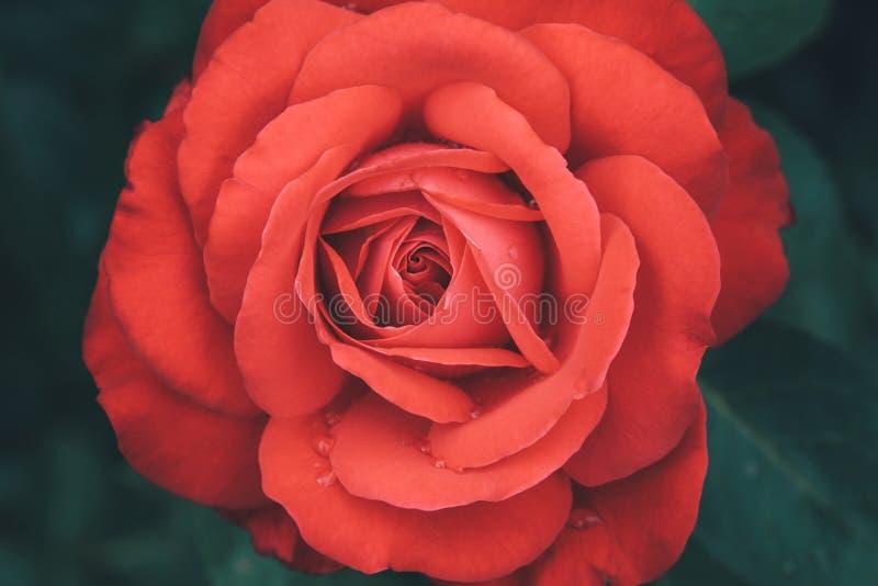Κόκκινος αυξήθηκε λουλούδι, ερυθρό μπουμπούκι τριαντάφυλλου στο σκοτεινό υπόβαθρο στοκ εικόνες με δικαίωμα ελεύθερης χρήσης