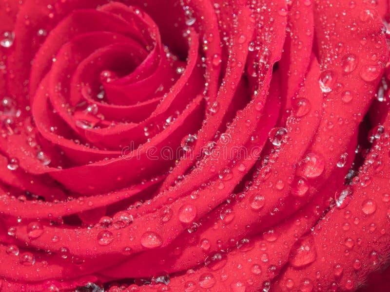 Κόκκινος αυξήθηκε λουλούδι, κλείνει επάνω στοκ εικόνες με δικαίωμα ελεύθερης χρήσης