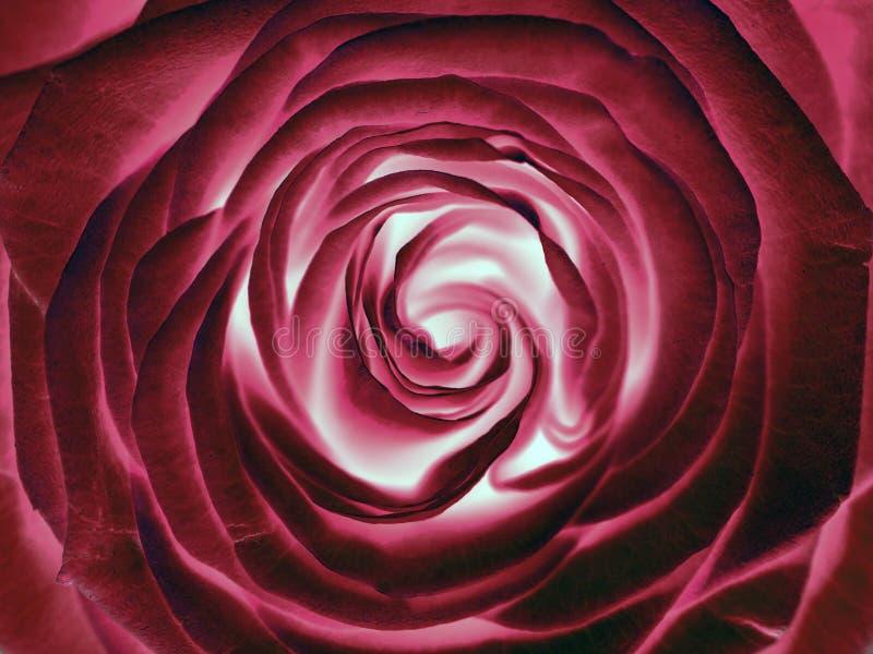 Κόκκινος αυξήθηκε λουλούδι, κλείνει επάνω στοκ εικόνες