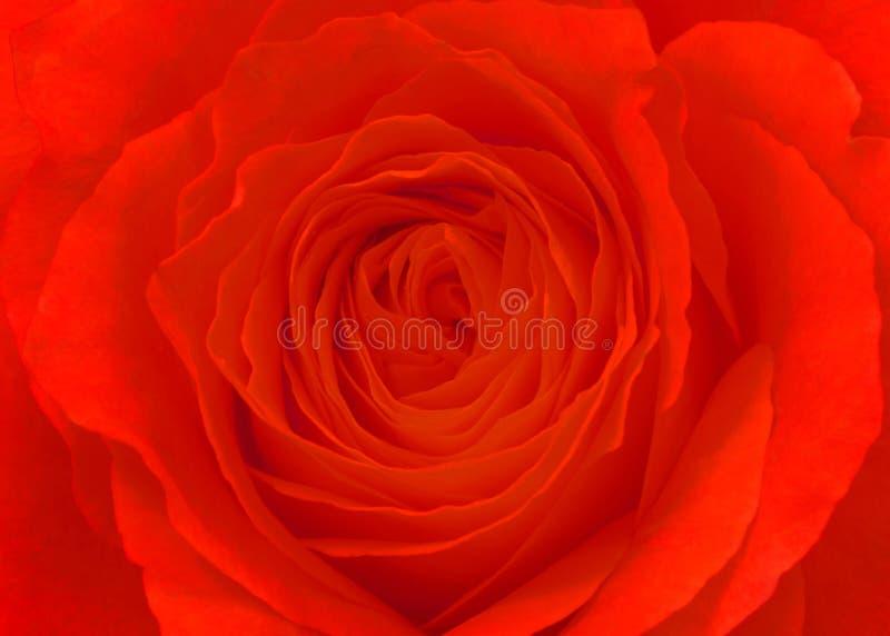 κόκκινος αυξήθηκε λουλούδι, μακροεντολή στοκ εικόνα
