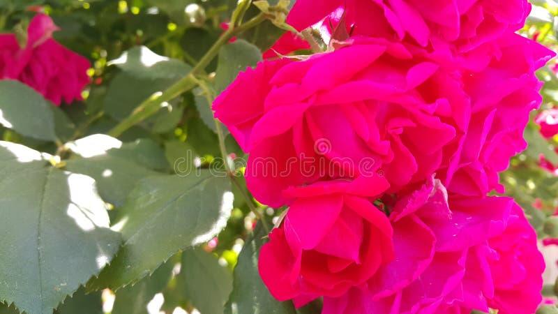 Κόκκινος αυξήθηκε λουλούδι με τα stamens και τα πράσινα φύλλα στο υπόβαθρο στοκ φωτογραφίες με δικαίωμα ελεύθερης χρήσης