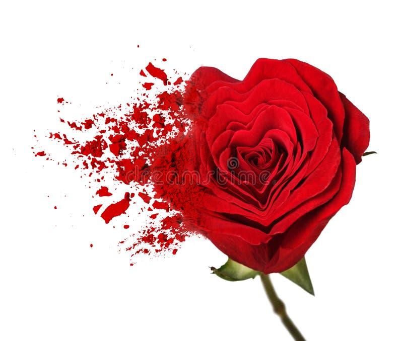 Κόκκινος αυξήθηκε λουλούδι χωρίζει στα μόρια στοκ εικόνες