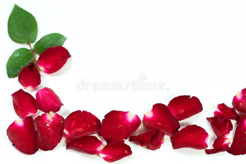 Κόκκινος αυξήθηκε πέταλα είναι πλαισιωμένος απομονωμένος στο λευκό στοκ εικόνες με δικαίωμα ελεύθερης χρήσης