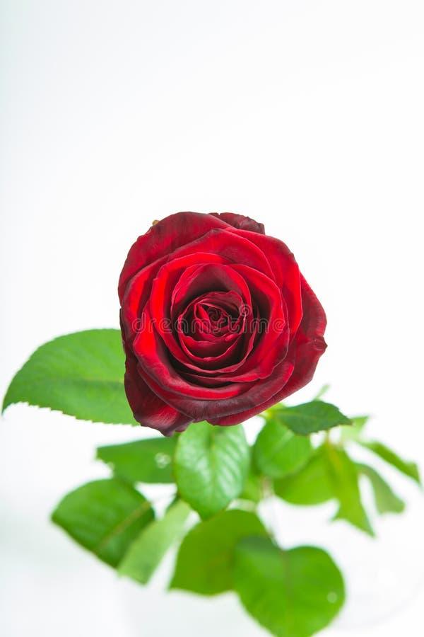 Κόκκινος αυξήθηκε ροζέτα λουλουδιών με τα φύλλα που απομονώθηκαν στο λευκό Τοπ όψη στοκ εικόνα