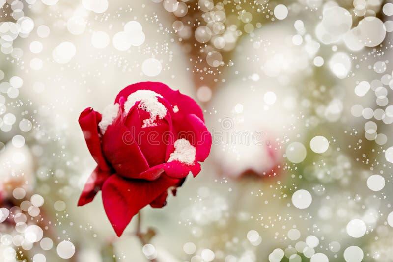 Κόκκινος αυξήθηκε στην κινηματογράφηση σε πρώτο πλάνο χιονιού Εκλεκτική εστίαση στοκ εικόνα με δικαίωμα ελεύθερης χρήσης