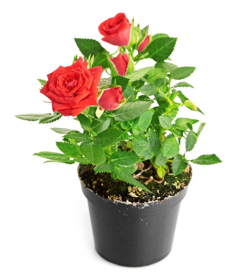 Κόκκινος αυξήθηκε στο δοχείο λουλουδιών στοκ εικόνες
