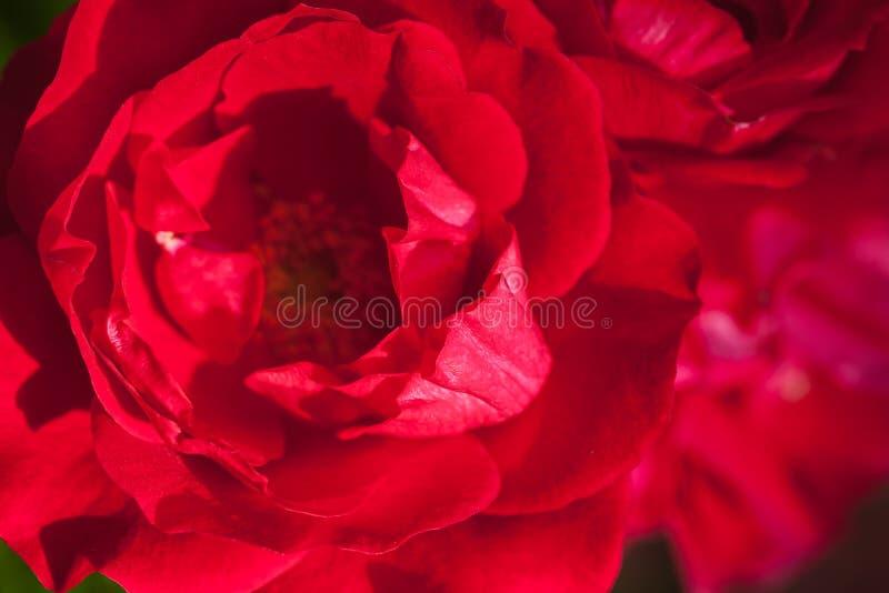 Κόκκινος αυξήθηκε τεμάχιο λουλουδιών, μακρο φωτογραφία στοκ εικόνες με δικαίωμα ελεύθερης χρήσης