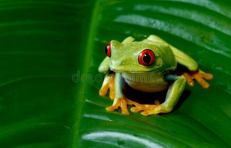 Κόκκινος βάτραχος δέντρων ματιών στοκ φωτογραφίες