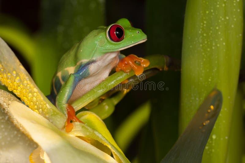 Κόκκινος βάτραχος ματιών στο λουλούδι ορχιδεών στοκ εικόνες