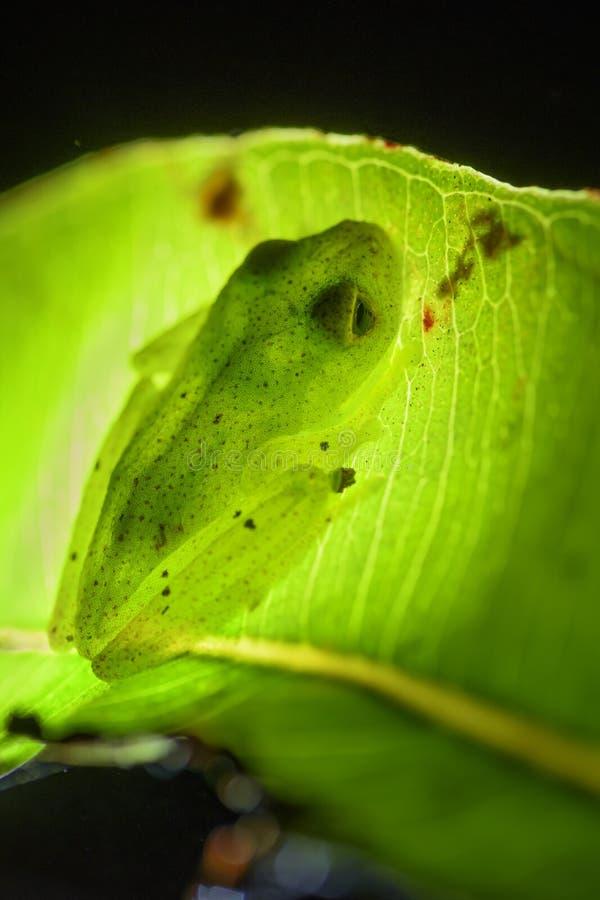 Κόκκινος διαστιγμένος βάτραχος - bottae Boophis στοκ φωτογραφίες με δικαίωμα ελεύθερης χρήσης