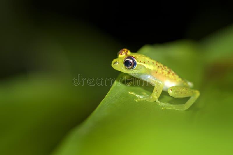Κόκκινος διαστιγμένος βάτραχος - bottae Boophis στοκ εικόνα