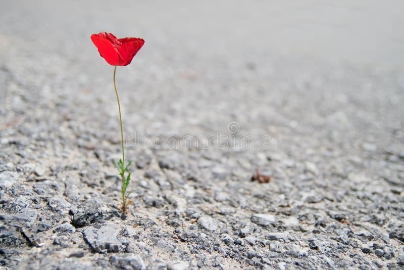 κόκκινος ενιαίος παπαρ&omicron στοκ φωτογραφίες