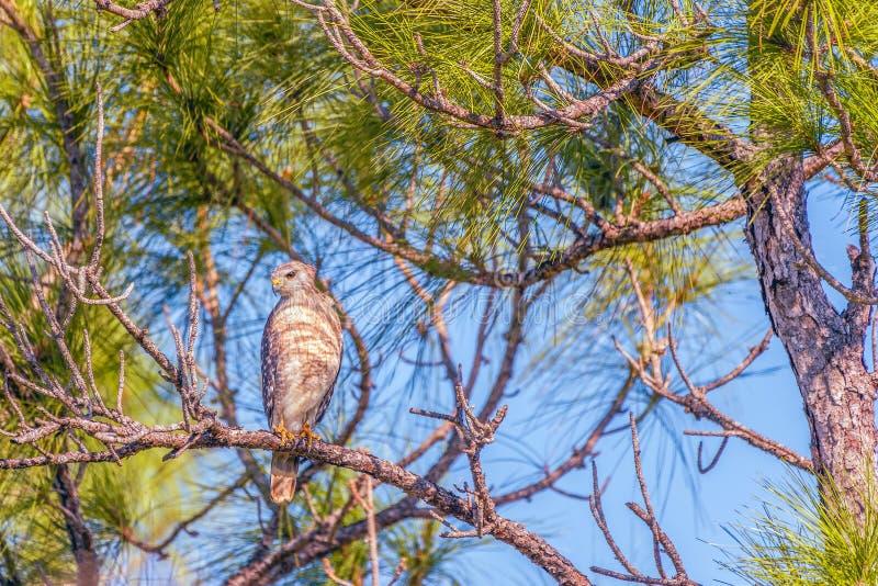 Κόκκινος-επωμισμένο γεράκι στο φλαμίγκο Campground Εθνικό πάρκο Everglades Φλώριδα o στοκ εικόνες με δικαίωμα ελεύθερης χρήσης